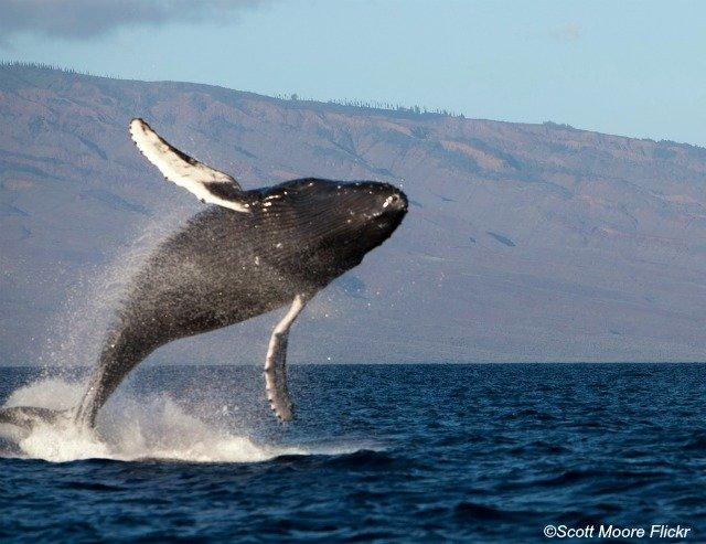 breaching humpback whale maui