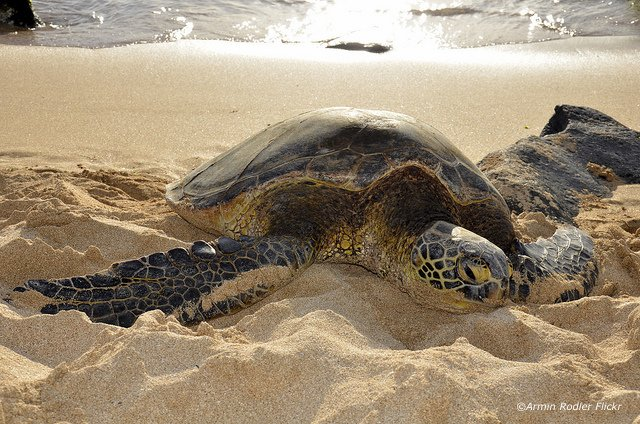 sea turtle on the sand