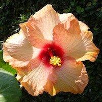 hibiscus avatar