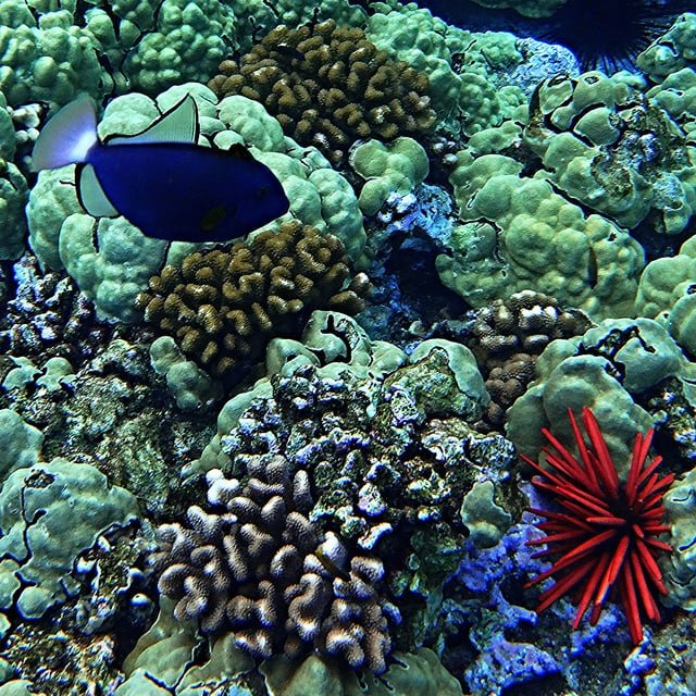 Maui Coral Reefs, The Essential 'Pono Guide To Snorkeling