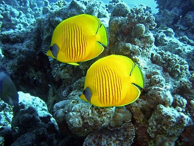two butterfly fish coral reef