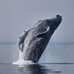 Maui Humpback Whalewatch With The Experts