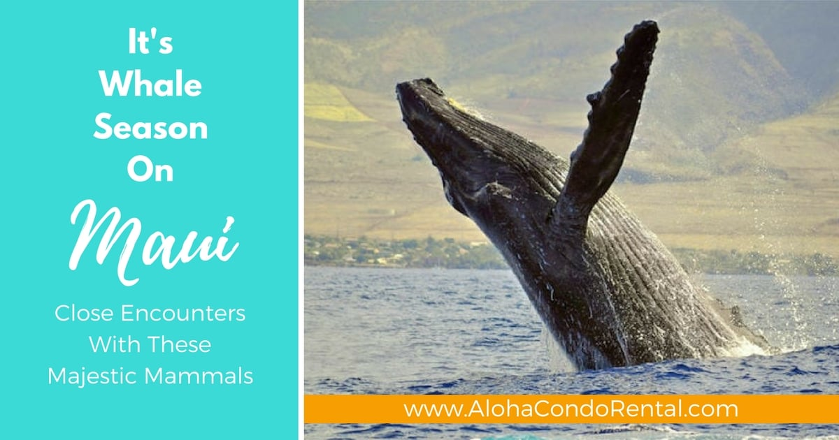 It's Whale Season On Maui Close Encounters